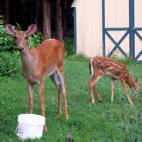Last Year's Fawn Shows Her Appreciation