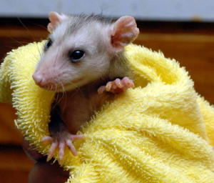 A opossum patient is fed via tube at the Center.