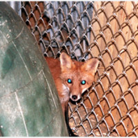 Red Fox Come to the Center