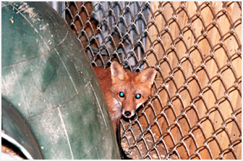 Isis - A Rescued Fox