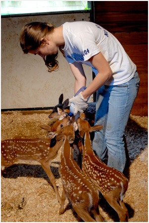 Lindsay Modugno, an intern at the Center, feeds the fawn their bottles.