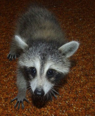 Rescued Raccoon: Tucker the Raccoon