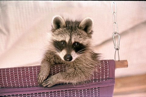 Raccoon in hammock